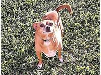 Taco's story Taco is a 6-year-old Chihuahua who was