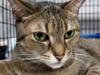 Tacoma is a 5 year old brown and tan tabby with a short