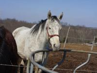 Grayish/white Thoroughbred/ Former racehorse. 9 years