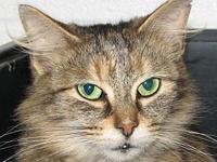 Taffy (DMH female)'s story Meet Taffy a DMH brown tabby