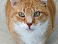 Handsome Large DSH Orange Tabby with White Senior