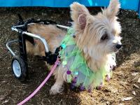 Taffy is an 8-year-old, 9-pound Yorkshire Terrier and