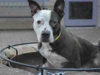 TAG's story Tag is a 2-year-old Pit Bull who came to