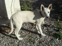 She a 4 1/2 month old white German Shepard, she has