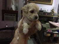 TAKING DEPOSITS! 5 week old maltipoo puppies. Very