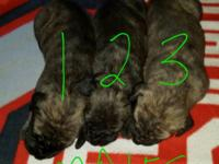 We have a beautiful new litter of Mastiff puppies just