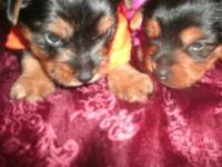 have lovely twin ckc reg yorkies up for deposits they