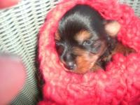 have 2 little yorkie puppies getting ready for thier