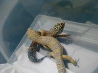 Tala and Tui are leopard geckos. They have not been
