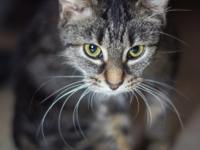 This is Talini a brown tabby female kitten. She is a