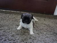 White parti-color female Pekingese puppy born 5 August