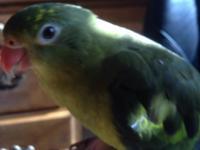 REGENT PARROT. The Regent Parrot is found in