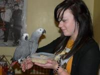 A breeding pair of African gray Parrots. Hand reared,