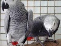 Beautiful male and female African Grey parrots for