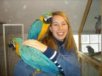 VERY TALKATIVE PARROT BLUE AND GOLD MACAW   ONLY