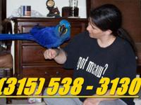 Text ( )..Talking Hyacinth Macaw parrot super Tame &