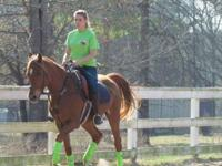 Tall talented Hunter gelding. Gentle, trail safe,