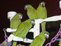 Parrotlets almost weaned! Four really sweet babies two