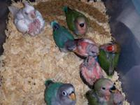 Lovebirds and cockatiels Rosie bourke $80 Red rump