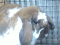 Three tame rabbits for sale. Boys decided not to show