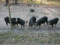 I have 16 pigs from 30lbs. to 100lbs. They are $25 and