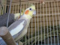 Child Cockatiels 2-3 months old. 2 males and 2 females