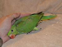 Green and Cinnamon grey green Indian Ringneck. Being