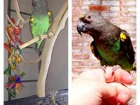 4 years of ages. Quite tame Meyers parrot. Wings are