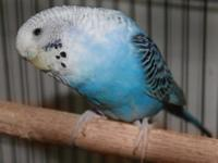 Looking for healthy family parakeets? Look no further!