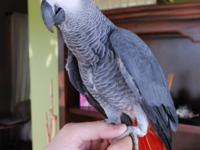 lovely ans sociable African grey parrot,good with kid