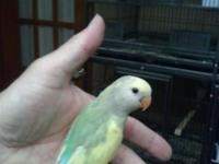 I have a couple of different color tamed love birds if