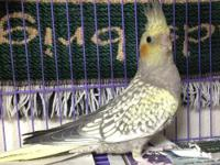 Have a 4 month old pearly cockatiel for $65. The