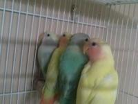 I have some tamed lovebirds couple of different colors