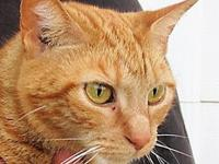 My story Tammy-Classic Orange Tabby, ~ 4-5 yr. Declawed