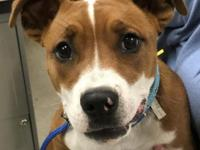 TaMolly is a pretty 5 month old female boxer mix with