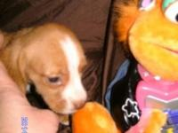 Cute Registered Pure Beagle Tan & & White young puppy -