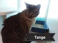 Sweet and lovable Tange is a stray Grey Tabby that was