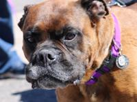 I am a 6 year old male brindle Boxer.  I came in with