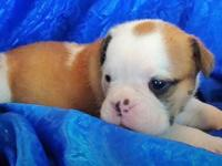 Tank is a fawn male English Bulldog Puppy. He's being