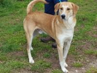 Tank is a Lab/Great Pyrenese mix.  He is 1 1/2 yrs old