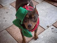 Tank is a sweet 8 year old MinPin boy searching for his