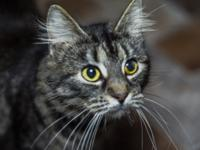 This is Tanzie a DMH brown tabby female. She is a