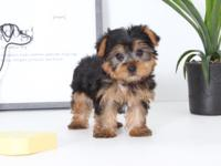 Target is such a fun little Yorkie Puppy!!! Target is