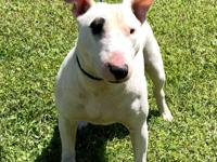 Target is a female Bull Terrier. She has a few small