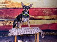 Tate's story Tate is a 9 pound Chihuahua. He's one and