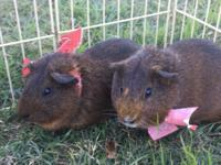 These Agouti, American Short Hair boys are Tater (left)