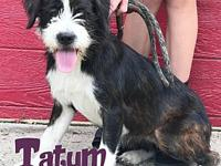 Tatum's story Tatum is an 8 month old, female, Lhasa