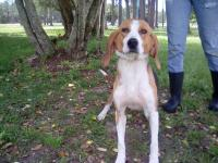 Petite female hound about 2-3 years old and 35 pounds.