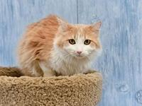Tawny's story Tawny is a Domestic Medium Hair with a