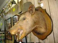This is one BIG Wild Boar head well done, has a bit of